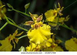 oncidium orchid oncidium stock images royalty free images vectors