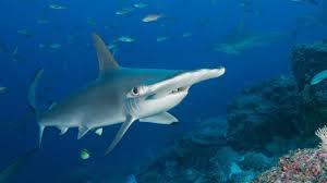 bbc earth why do hammerhead sharks look like that