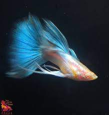 types of aquarium 35 different types of guppies in the world with beautiful
