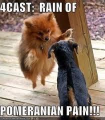 Pomeranian Meme - pomeranian meme google search doggie pinterest doggies