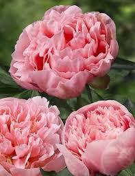 Peony Flowers by Peony U0027sarah Bernhardt U0027 Peony Flowers And Gardens