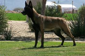 belgian malinois for sale trained dobermans and belgian malinois for salearizona working dog