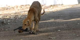 bbc future india u0027s rabid dog problem is running the country ragged