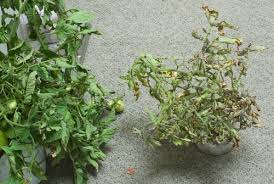 Diseases Of Tomato Plants - tomato plant disease giantveggiegardener