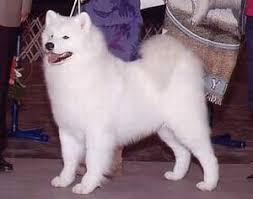 american eskimo dog vs keeshond american eskimo dog history