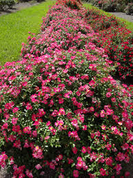 drift roses drift roses offer smaller plants great blooms