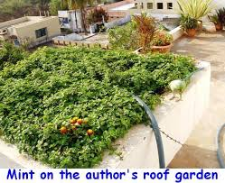 roof garden plants how to grow mint plants on roof or terrace garden