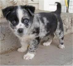 mini australian shepherd 6 months aussie corgi dog breed information