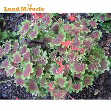 aliexpress com buy land miracle rare japanese geranium seeds 5