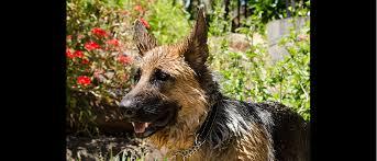 south australian german shepherd breeders german shepherd dog club of sa inc u2013 member of the german