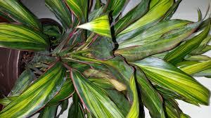 hawaiian ti plant identify houseplants houseplant411 com