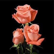 Ecuadorian Rose - langer Stamm - großer Kopf - orange Rosen ... - Ecuadorian_Rose_Long_Stem_Big_Head_Orange_Roses