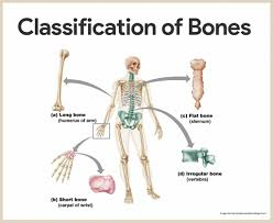 anatomy physiology skeletal system human anatomy library