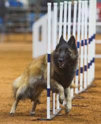 belgian sheepdog national specialty sindarin belgians myth u0026 magic litter tervuren