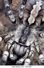 indian tarantula stock photos indian tarantula stock images alamy