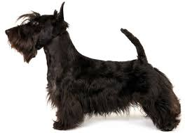 Scottish Terrier Information Facts Pictures Training And Grooming