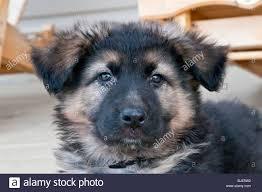 german shepherd puppy nine 9 weeks old portrait stock photo