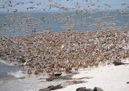 Delaware wildlife tours images Njdep division of fish wildlife delaware bay shorebirds jpg