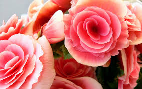 Pink Roses Wallpaper by Roses Pictures Wallpaper