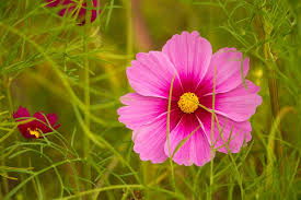 pink flower pink flower cosmos kosmee leaflet free photo on pixabay