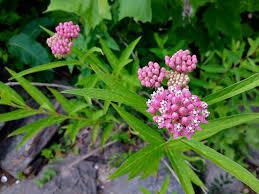 maryland native plants maryland biodiversity project swamp milkweed asclepias incarnata