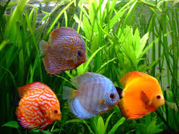 beautiful discus fish images free hd wallpapers download