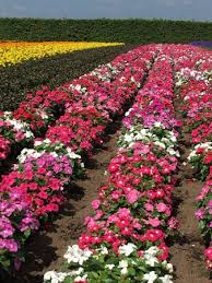 vinca flower vinca flower bed picture of farm tomita nakafurano cho