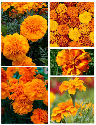 Marigolds Shade by Layered Beauty Of Vibrant U0026 Brilliant Color Marigolds House Appeal