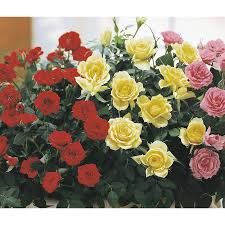 Miniature Indoor Plants by Shop 13 4 Oz Miniature Rose Lw04269hp At Lowes Com