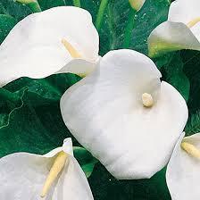 white calla white calla finegardening
