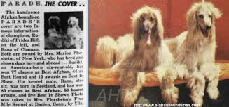 owning an afghan hound afghan hound times rana of chaman of royal irish by steve