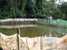 Catfish Backyard Pond by Fao Fisheries U0026 Aquaculture Cultured Aquatic Species Information