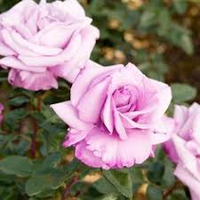 The Most Fragrant Plants - the most fragrant roses for your garden rose powdery mildew and