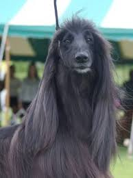 afghan hound judith light 119 best hound images on pinterest afghans afghan hound and animals