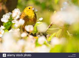 yellowhammer of spring apple blossom forest birds and wildlife