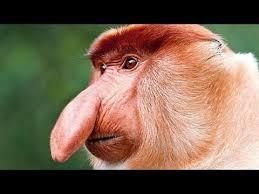 Big Nose Meme - big nose monkey blank template imgflip