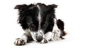 Why Do Dogs Lick The Sofa Warning Signs Of Dog Depression Cesar U0027s Way