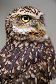 Owl Lovers 135 best burrowing owls saw whet owls images on pinterest