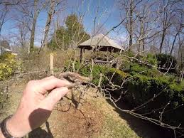 tips on backyard pruning fruit trees and grapes youtube