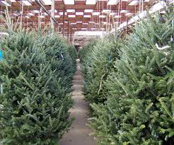 one click to christmas trees