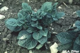 Viroid Diseases In Plants - potato spindle tuber viroid symptoms