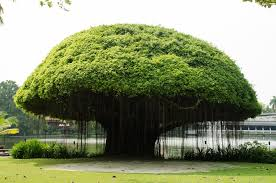 banyan trees in hawaii you don t want to miss these dolphins