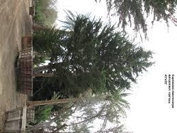 cupressus macrocarpa jimenez nursery inc
