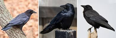 birdist rule 65 how to tell the difference between crows audubon