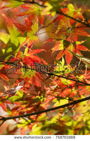 acer tree stock images royalty free images vectors