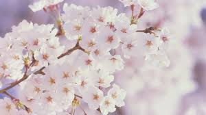 white cherry blossom cherry blossoms white fb cover cover fb covers hub