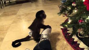 baby monkey nala checks out her first christmas tree ornament