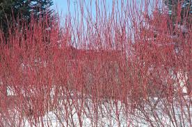 fast growing native plants selecting shrubs for minnesota landscape yard and garden