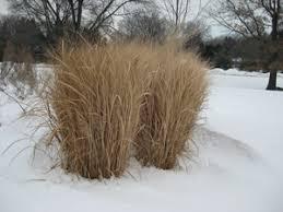 winter rigidity a trait for ornamental grasses s