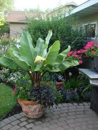 container plants i noticed several banana plants ensete